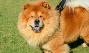 The 15 Fluffiest Dog Breeds