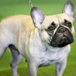 American Kennel Club's top dog breeds of 2020