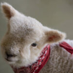 How an abandoned lamb turned into Beltane Ranch's house pet